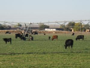 prowers-cows_1_trujillo