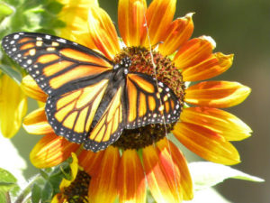 butterflysunflower188_v